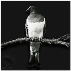 Kereru NZ Wood Pigeon Black and White New Zealand