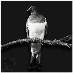 Kereru NZ Wood Pigeon Black and White New Zealand