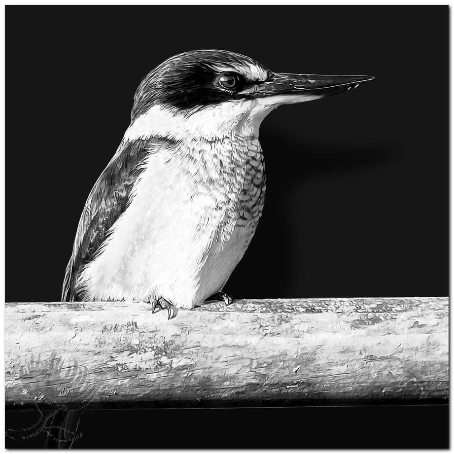 NZ Kingfisher Black and White New Zealand