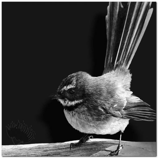 NZ Fantail Black and White New Zealand
