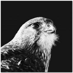 NZ Falcon Black and White New Zealand