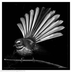 Fantail on Black nz art gifts